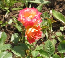 Miniature rose 'Tiddly Winks' by Kattvinge