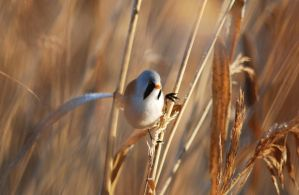 The Bearded Reedling by Modernmyth6277