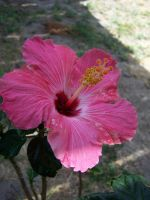 Hibiscus flower 2 by seiyastock