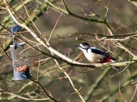Great Spotted Woodpecker - nuts? by Steve-FraserUK