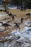 Geese1 by stockicide