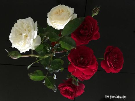 Roses by Dance0927