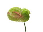 Anthurium by Toefje-Kunst