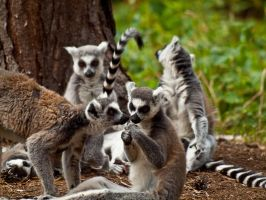 Ring Tailed Lemur 02 - July 11 by mszafran