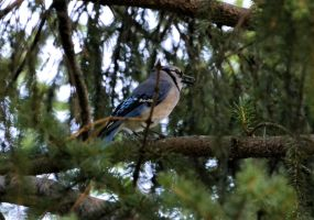 Blue Jay 6 by Noble-Kenshi
