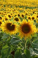 Sunflowers 01 by mordoc-stock