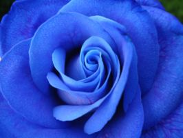 Blue rose by AshiharaLover