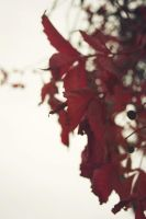 Red leaves by mkrtchyan