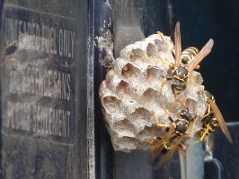 Yellow Jacket Wasps Nesting 5 by FantasyStock