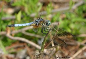 Blue Dragonfly by Aries18o18