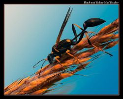B and Y Mud Dauber by boron