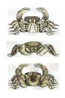 small crab study by bigredsharks
