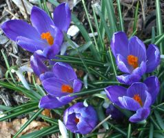 More Crocuses by chasz