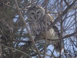 Barred Owl by silverfang07