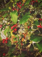Dogwood tree berries. by CindyLouWhoXox