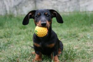 Sausage Dogs Have Small mouths by MaX---DeAtH