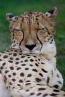 Sleepy cheetah portrait by fpanther