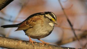 White-Throated Sparrow by daughterdragon
