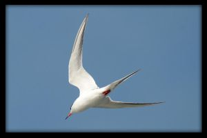 A Tern by robert-kim-karen