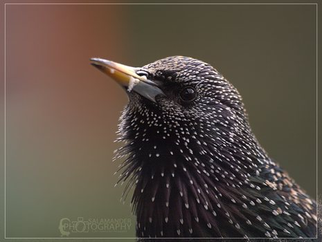 Starling by Narked-Photographer