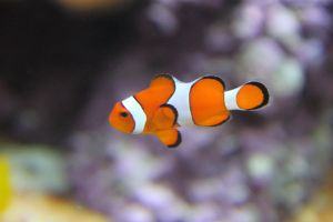 Clown Fish by Etherious