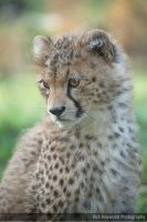 Young Cheetah Male 182 14f by mym8rick