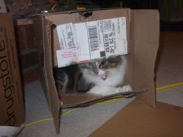 my cat crazy in a box by michelous