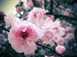 Cherry Blossom by unknownaspiration