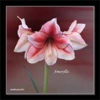 Amaryllis-2013-12-10 by rembrantt