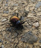 A beetle on the ground 2 by Scorpini-Stock