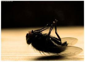 Dead Fly by selley