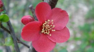 Quince by adderx99