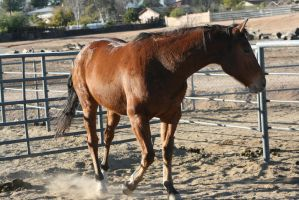 STOCK: Bay Horse11 by SnowPhotography
