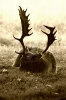 Knole - Sleeping Stag by mr-clandestine