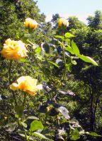Gold Roses by bebekeene