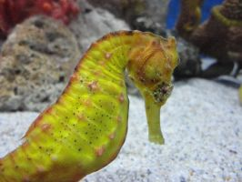 yellow seahorse by blackyuna