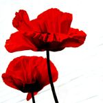 red poppies by augenweide
