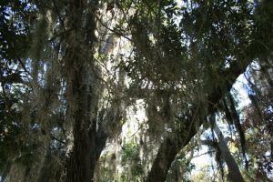 Spanish Moss 1 by elf-fu-stock