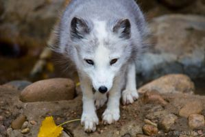 Arctic Fox in the Fall by MirMidPhotos
