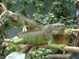 Relaxing Iguanas by Chromone