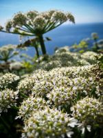Hogweed by iriscup