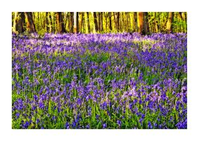 Bluebell Delight by Capturing-the-Light