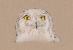 Outraged Owl is Outraged by Eurwentala