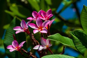 Pink Hawaiian Flowers by Merlinman50
