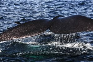 Southern Right Whale I by AlejandroCastillo