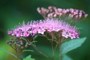 SPIRAEA JAPONICA by zraclooc