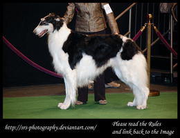 -Borzoi 2- :Stock: by SRS-Photography
