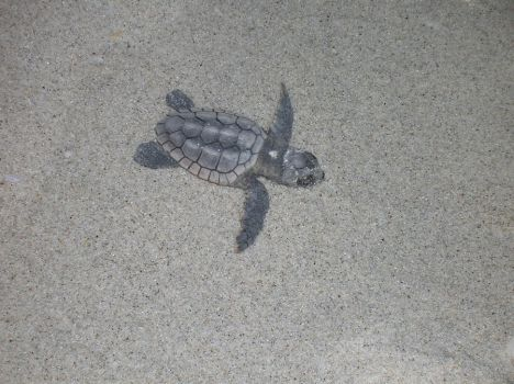Baby Sea Turtle by Tyson87