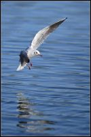 Black-headed Gull by nitsch
