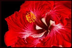 RED HIBISCUS 2 by THOM-B-FOTO